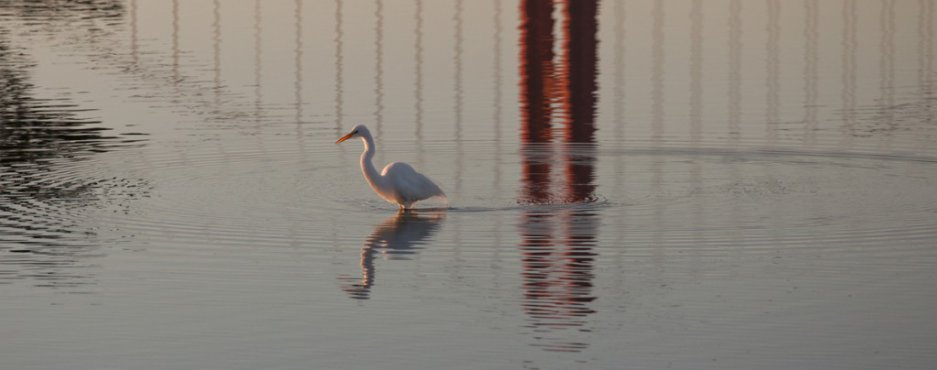 Egret and Golden Gate