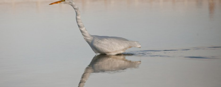 Egret in Shadow
