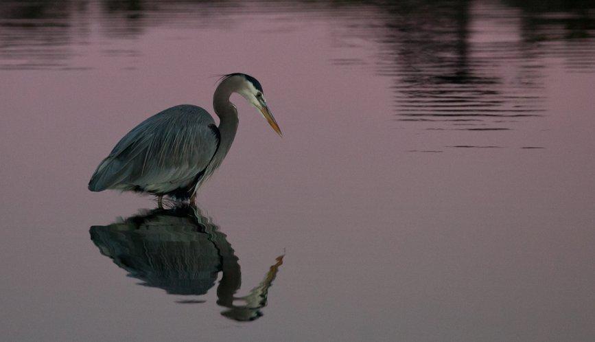 Hunting Blue Heron