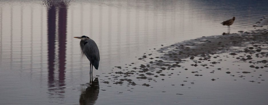 Blue Heron and the Golden Gate